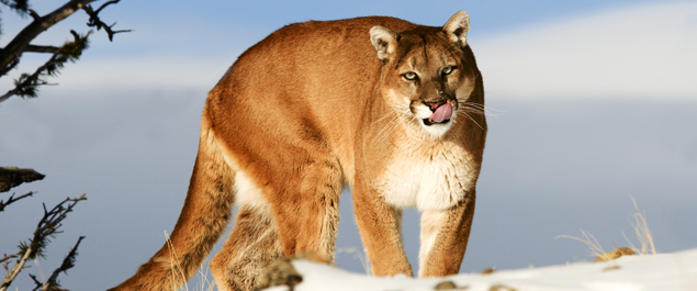 Guided Cougar Hunting Trips in BC